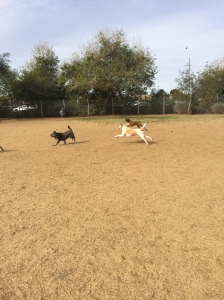 Frankie running muck at the dog park